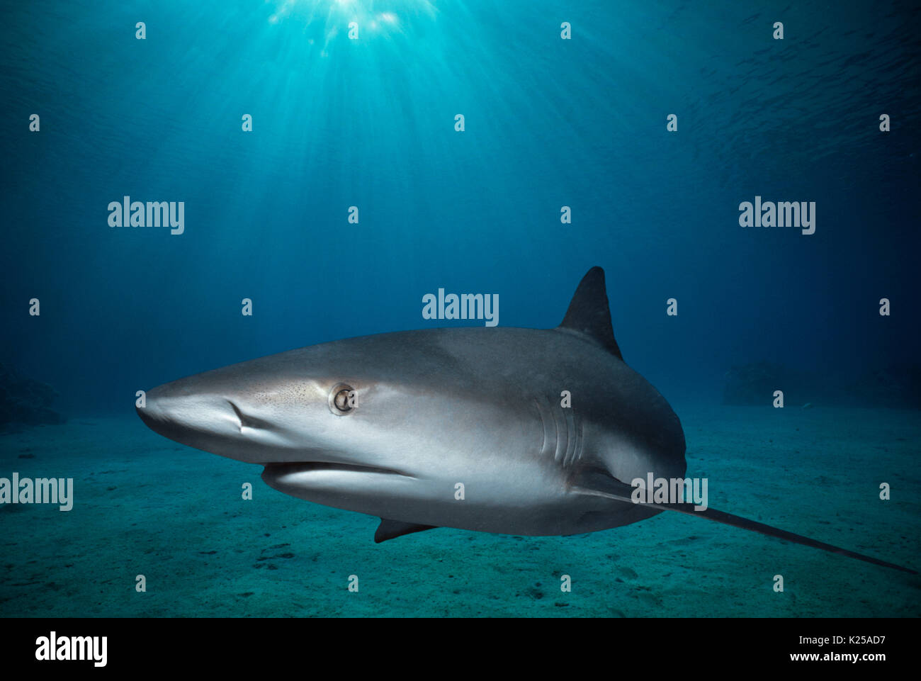 Caribbean Reef Shark (Carcharhinus perezi).  Bahamas, Caribbean Sea.  This image has been digitally altered to remove distracting or to add more inter - Stock Image