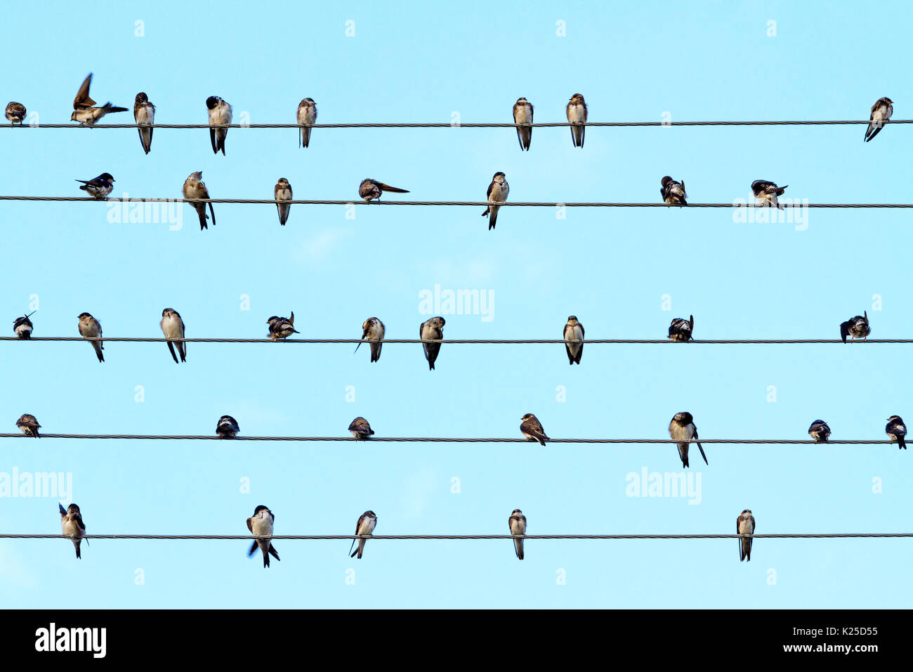 Musical notes performed by birds on the wires - Stock Image