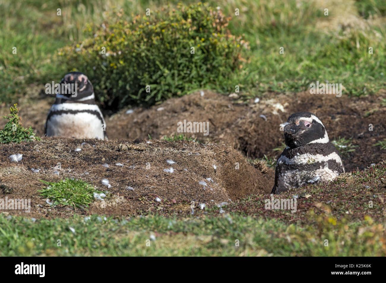 Magellanic Penguin Spheniscus magellanicus  by burrows Carcass Island Falklands Malvinas Stock Photo