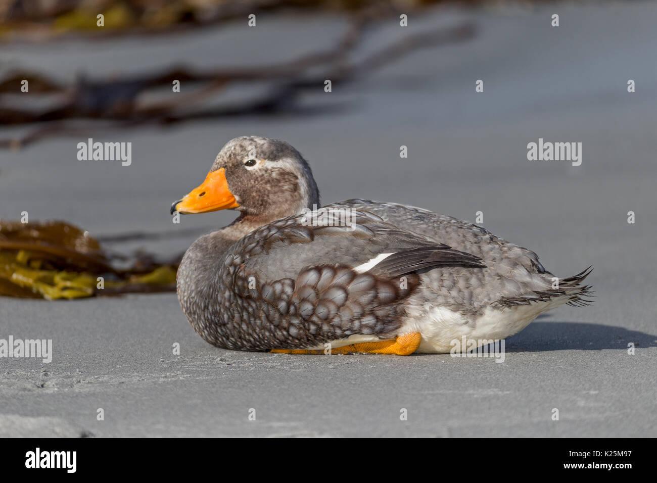 Male Falkland Steamer - Duck Tachyeres brachypterus flightless  Sealion Island Falkland Island Malvinas - Stock Image