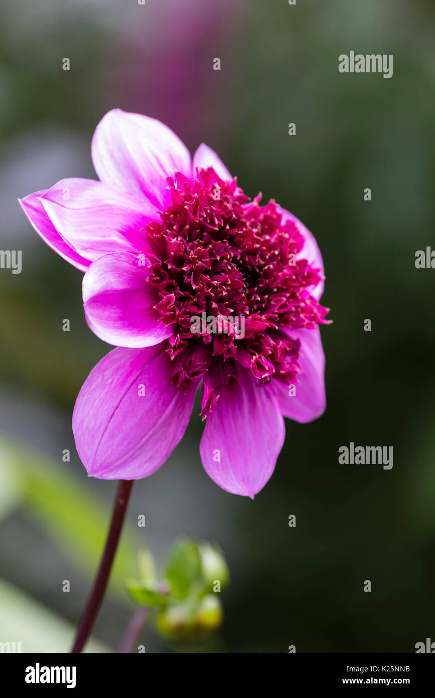 Single blue tinged pink flower of the anemone centred dahlia, Dahlia 'Blue Bayou' - Stock Image
