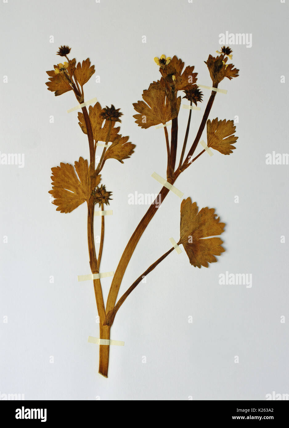 a herbarium sheet with Ranunculus muricatus, the Rough-fruited buttercup or Spinyfruit buttercup, family ranunculaceae Stock Photo