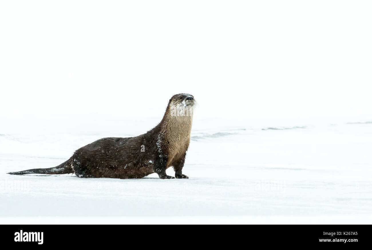 River otters - Stock Image