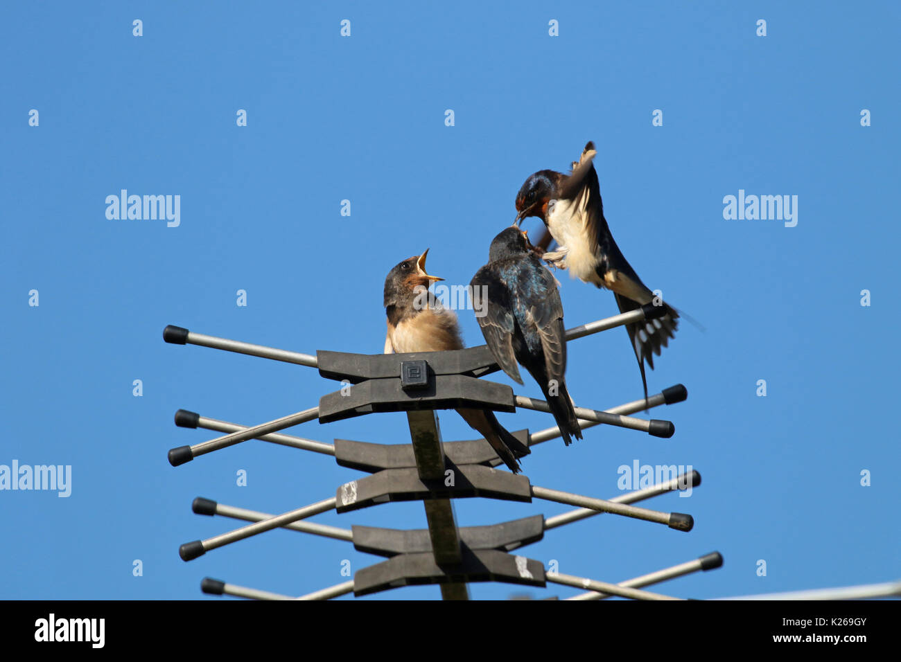 Adult swallow feeding young fledglings on TV aerial without landing - Stock Image