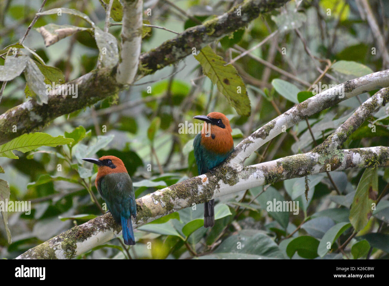 Broad-billed Mot Mot ( Electron platyrhynchum ), tropical moist lowland forest, Western Andes - Stock Image