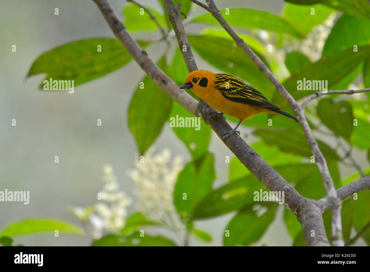 Golden Tanager ( Tangara arthus ) , humid montane forests, Western Andes - Stock Image