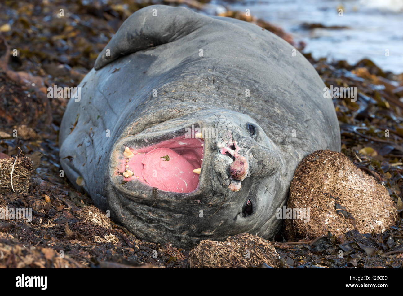 Male Elephant Seal yawning showing trauma from previous battles Carcass Island Falklands Malvinas - Stock Image