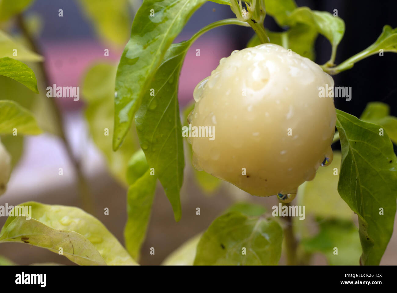Water droplets on Thai dragon peppers after the rainn Stock