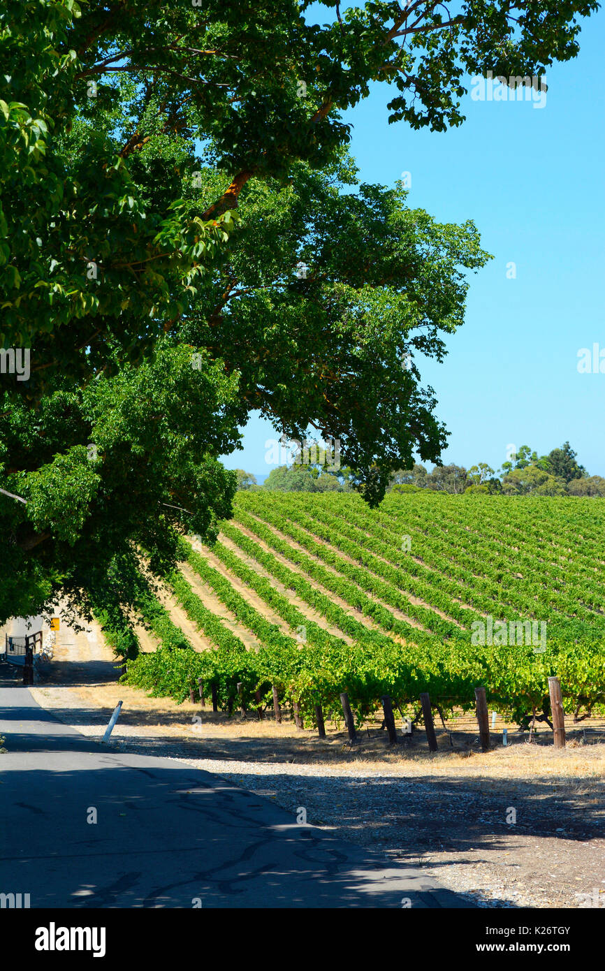 Scenic rows on grapevines taken in the Barossa Valley, South Australia, vertical orientation. - Stock Image