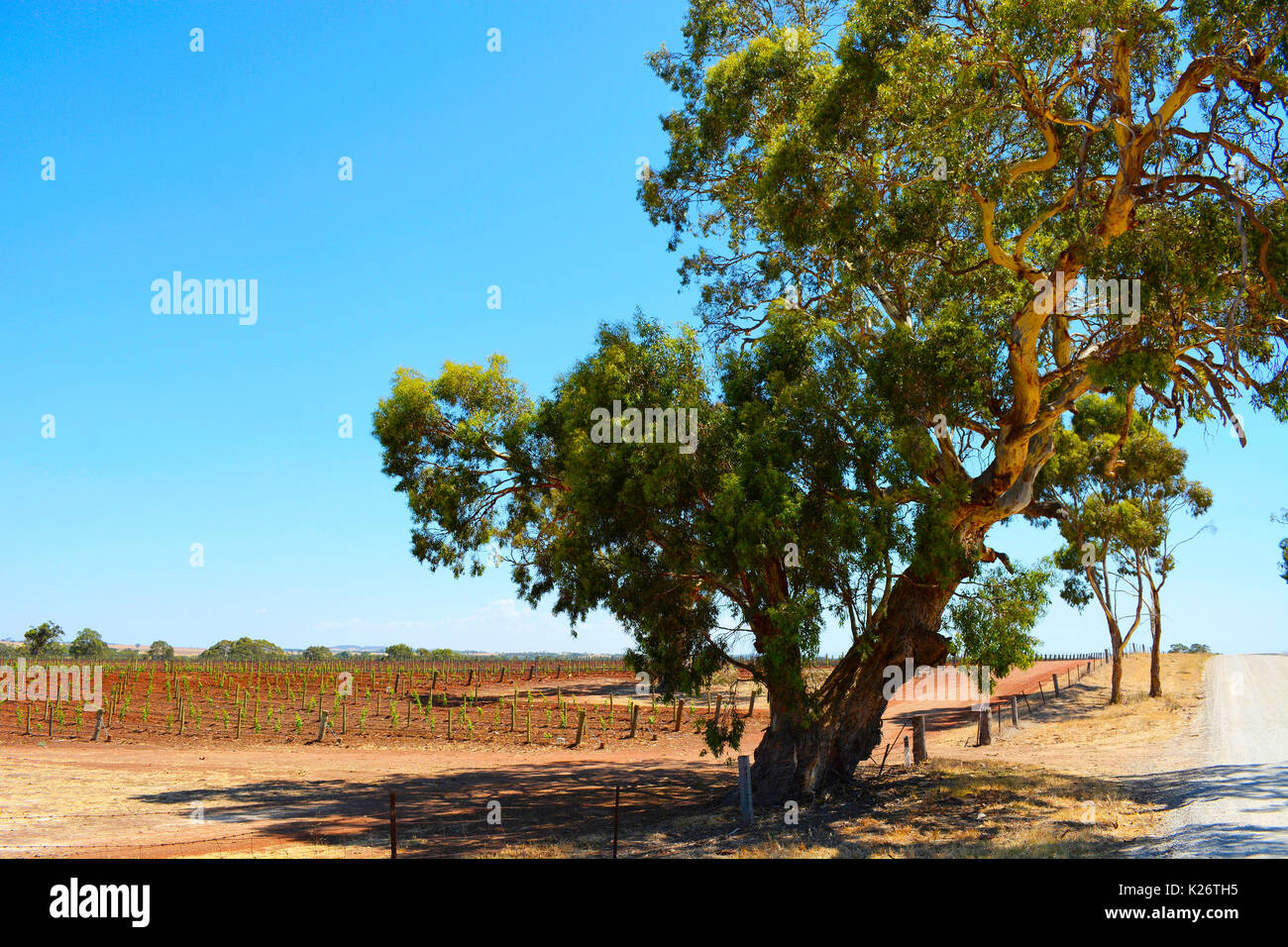 Large gum tree overlooking rows of grape vines, Barossa Valley landscape. - Stock Image