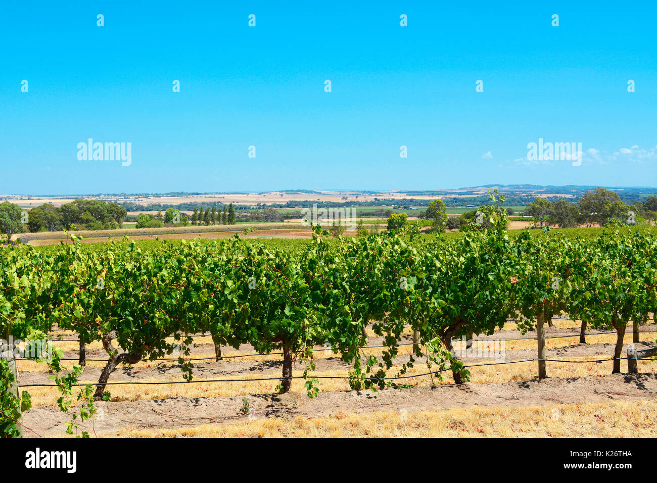 Australian wineries rows of grape vines taken on a bright and sunny day at the Barossa Valley, South Australia. - Stock Image