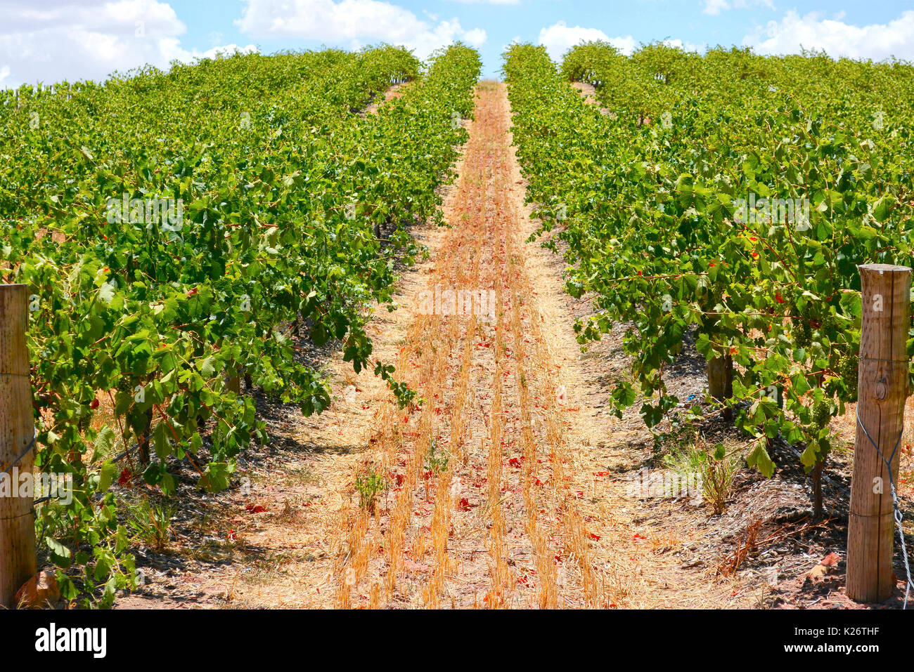 Australian wineries rows of grape vines taken on a bright and sunny day. - Stock Image