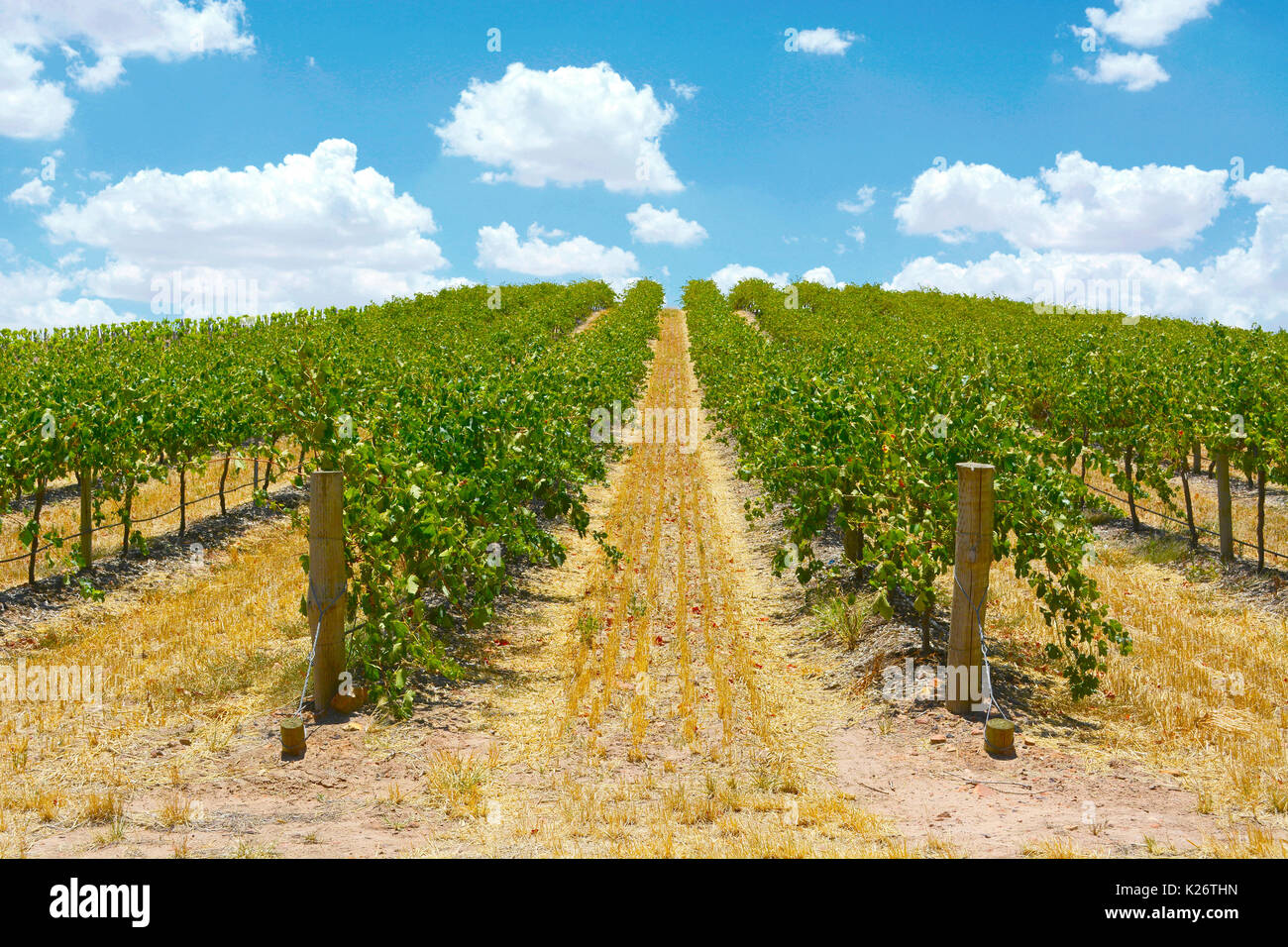 Australian wineries rows of grape vines taken on a bright and sunny day. Stock Photo