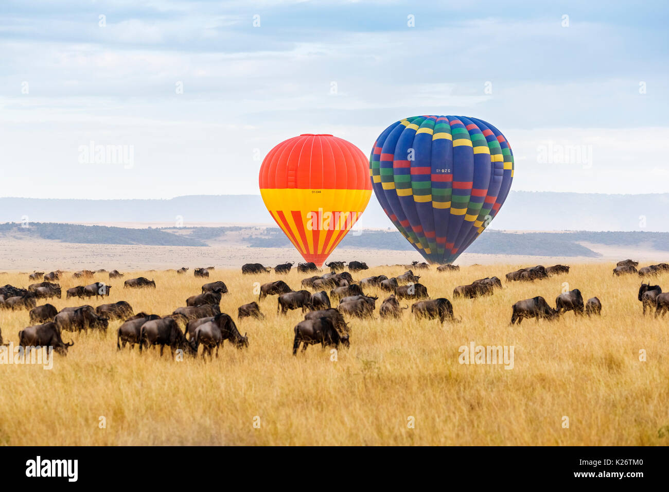 View of two hot air balloons rising over a herd of blue wildebeest (Connochaetes taurinus) in the savannah in the early morning, Masai Mara, Kenya - Stock Image