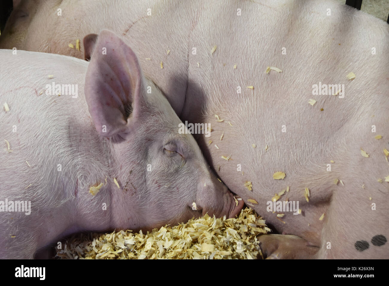 Two pale pink pigs snuggled in sleep - Stock Image