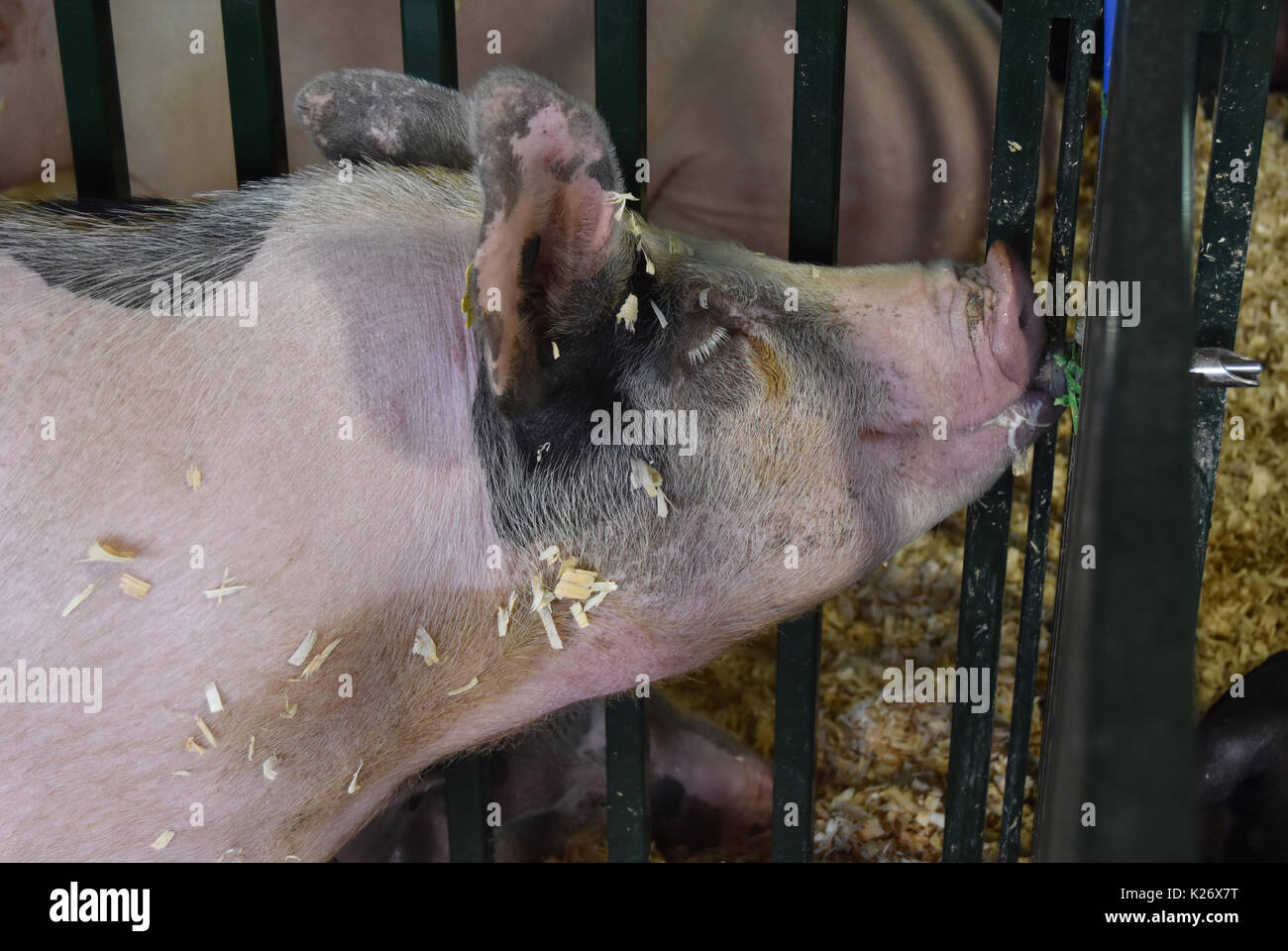 Pig drinks from water dispenser - Stock Image