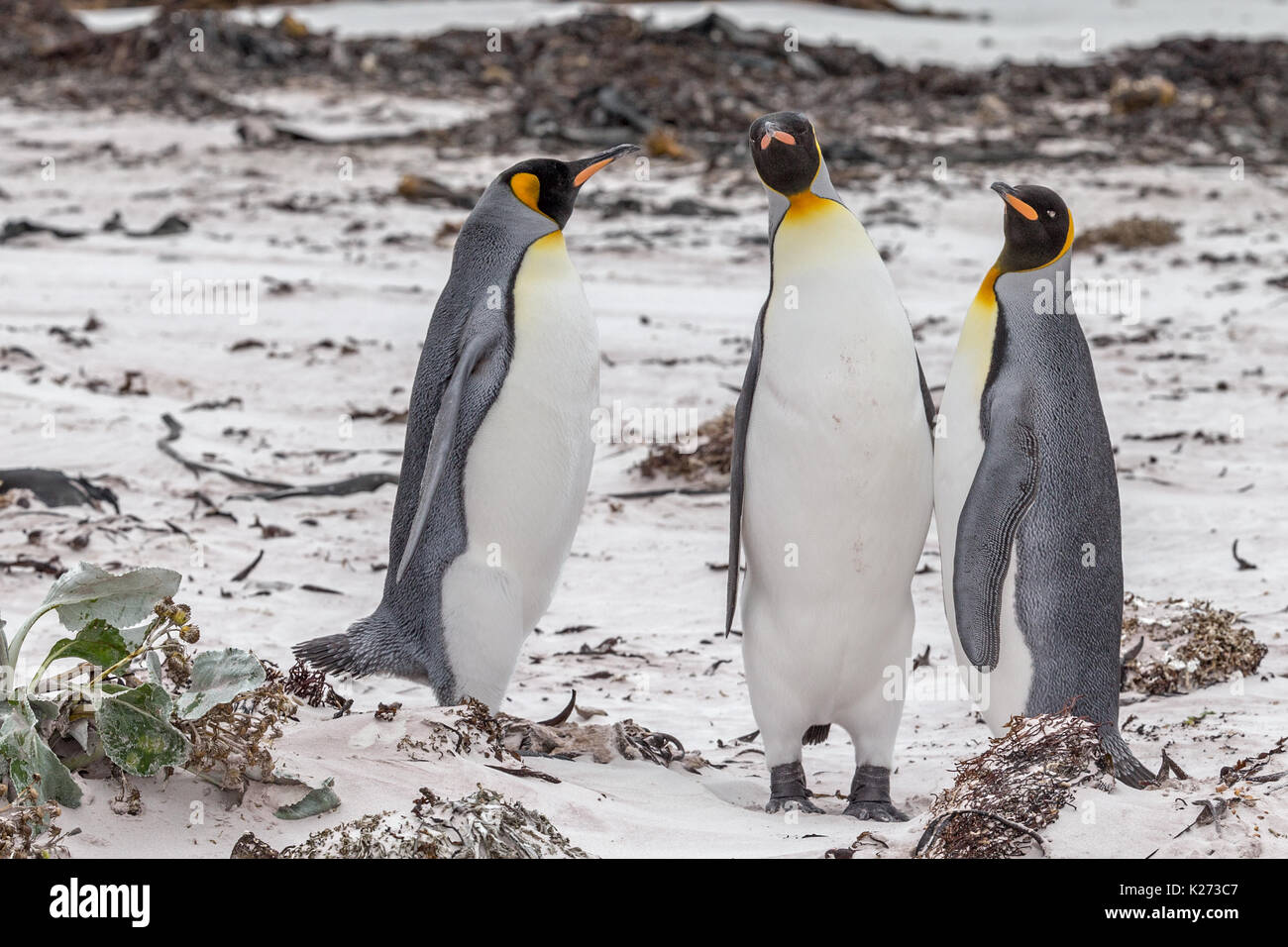 King Penguin Aptenodytes patagonicus Volunteer Point East Island Falklands (Malvinas) - Stock Image