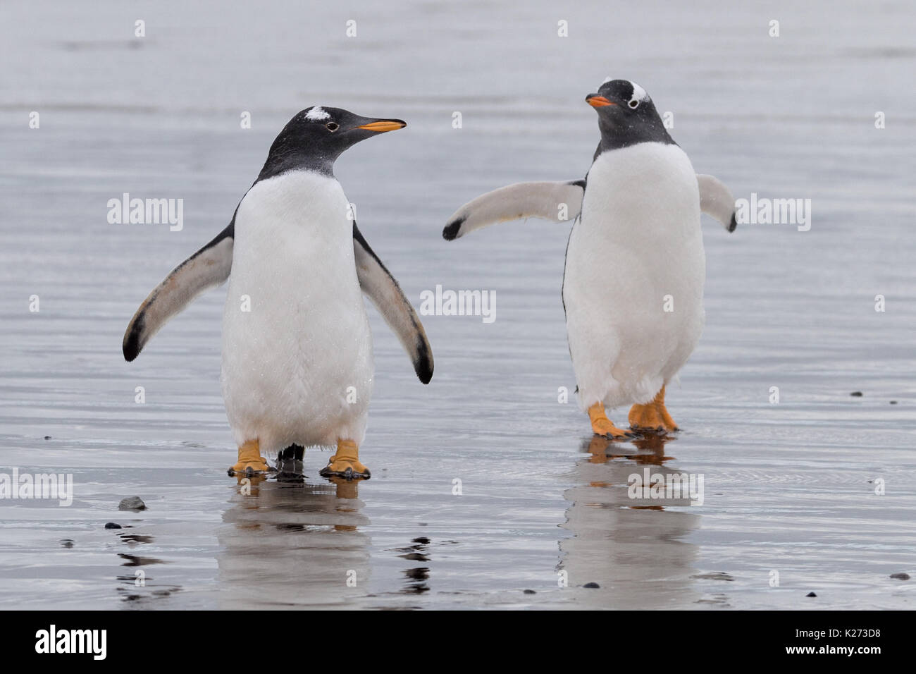 Gentoo penguin Pygoscelis papua Volunteer Point East Falklands Island (Malvinas) - Stock Image