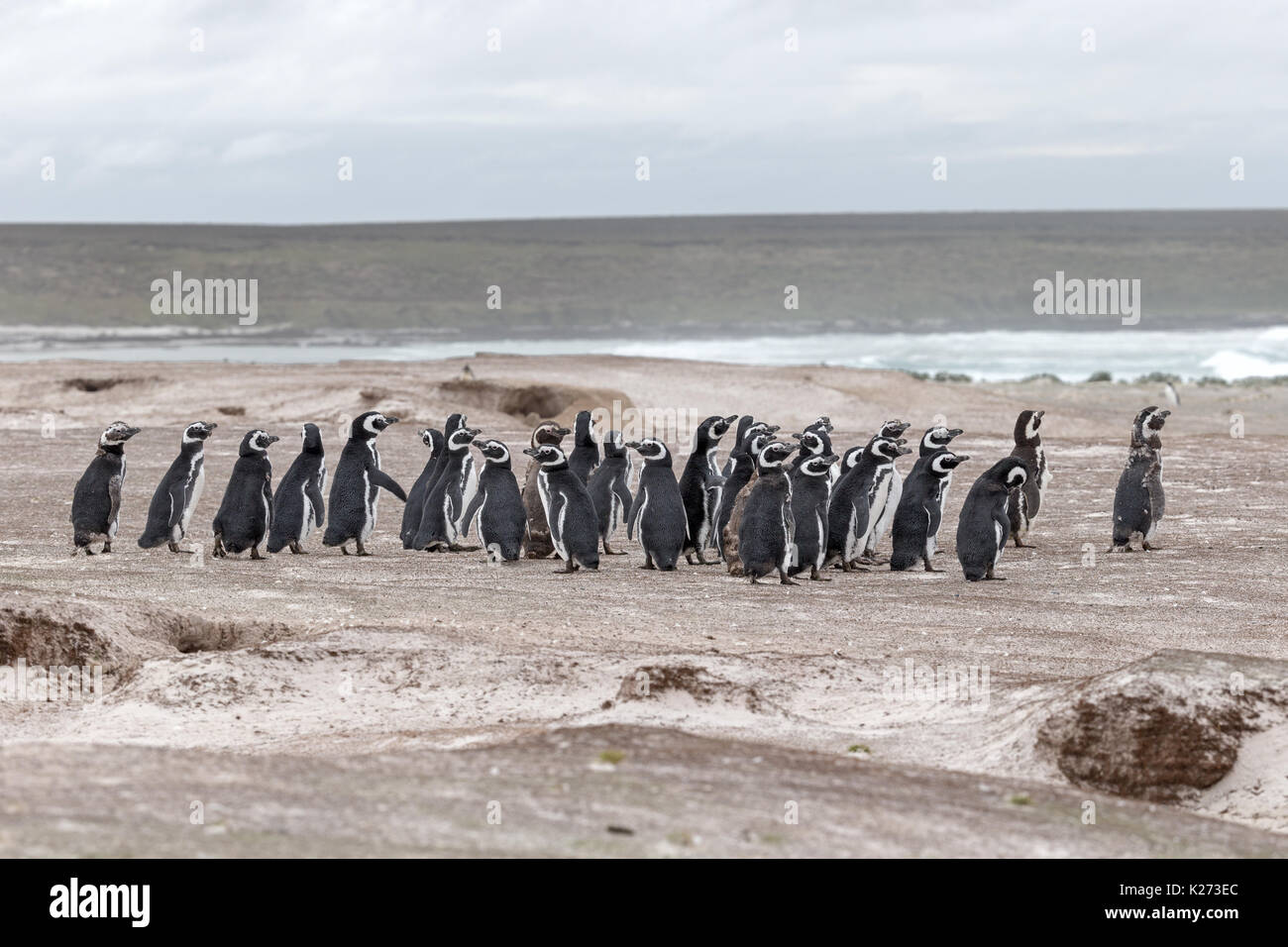 Magellanic Penguin Spheniscus magellanicus Volunteer Point East Island Falklands - Stock Image