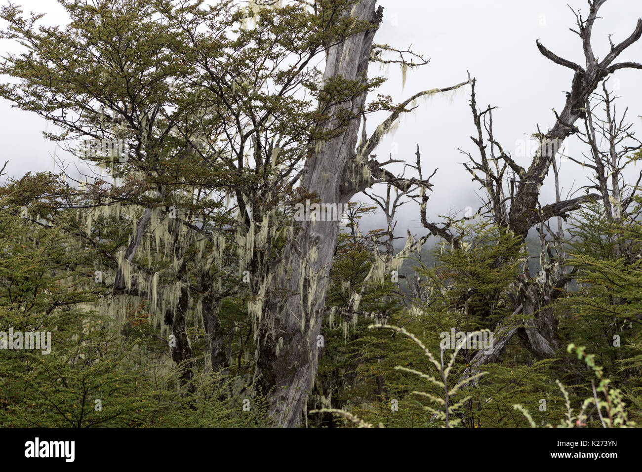 Lichen on trees Balmaceda to Puerto Rio Tranquilo route highway road 7 Patagonia  Chile - Stock Image