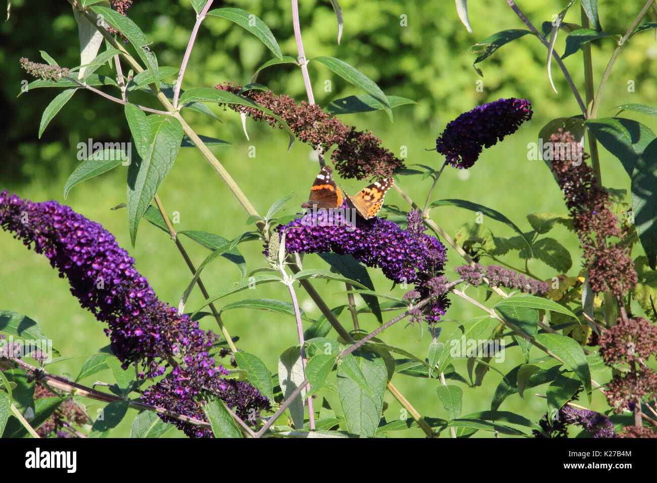 Butterflies on a summer lilac - Stock Image