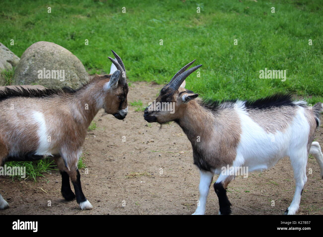 Two goats fighting - Stock Image