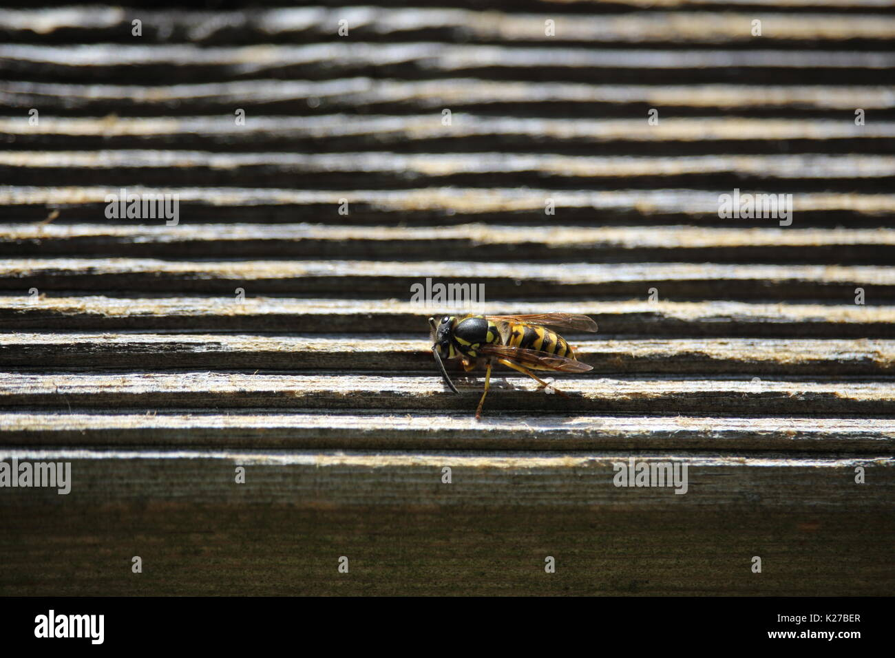 A wasp on timber Stock Photo