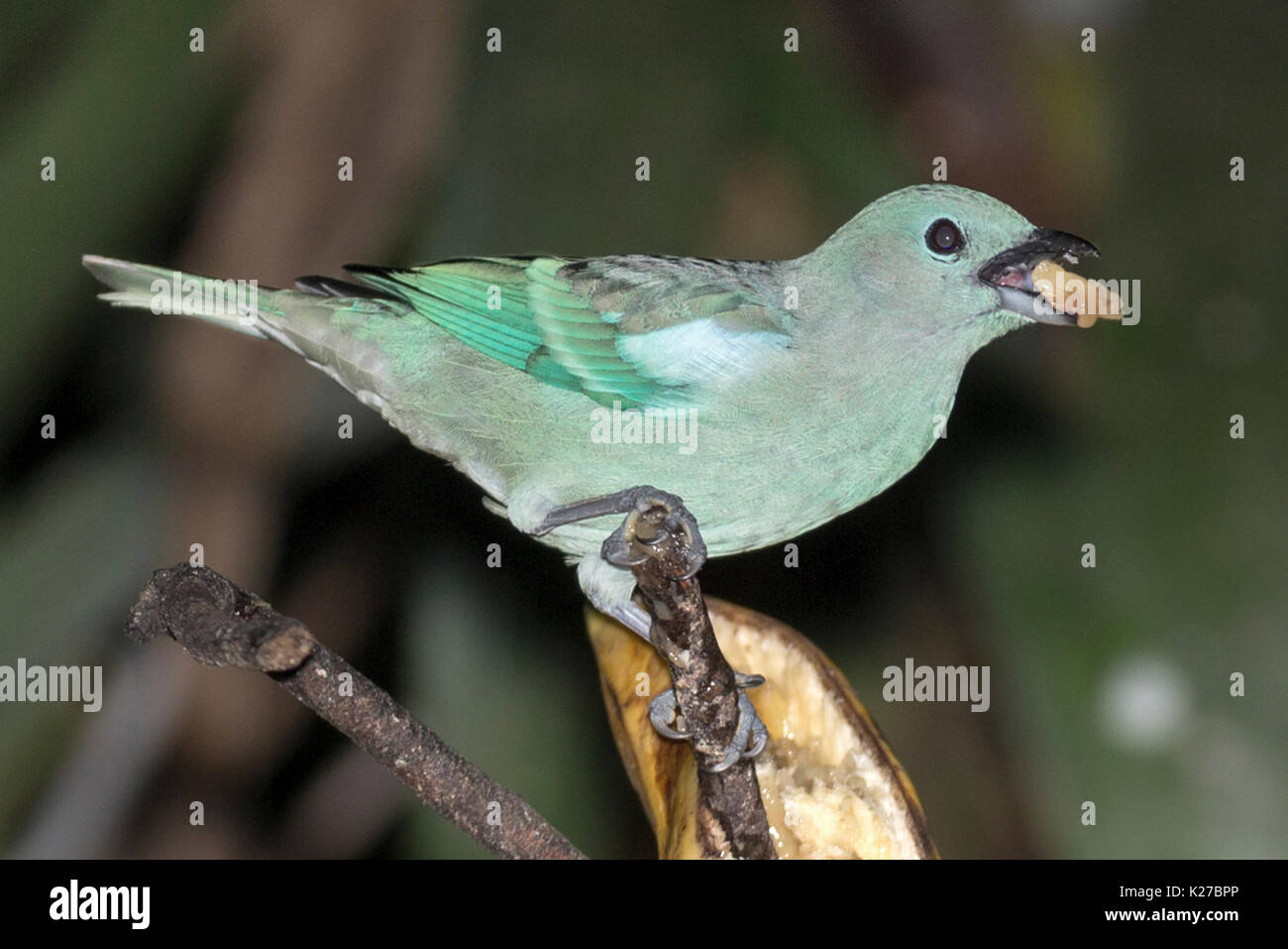 Blue-grey Tanager (Thraupis episcopus) Machu Picchu Peru - Stock Image