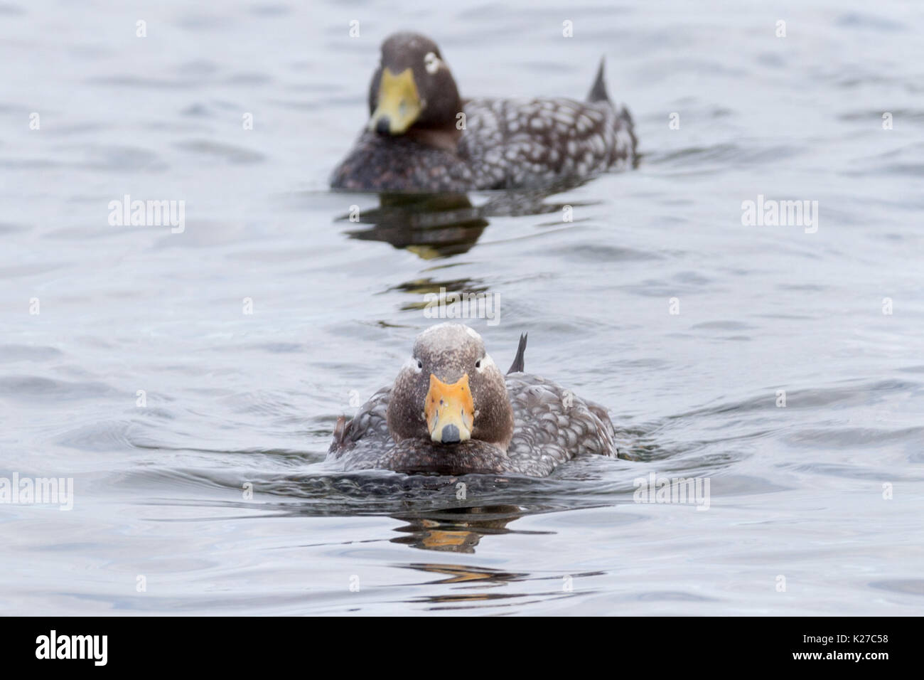 Male & Female Falkland Steamer-Duck Tachyeres brachypterus flightless  Darwin Falkland Island Malvinas - Stock Image