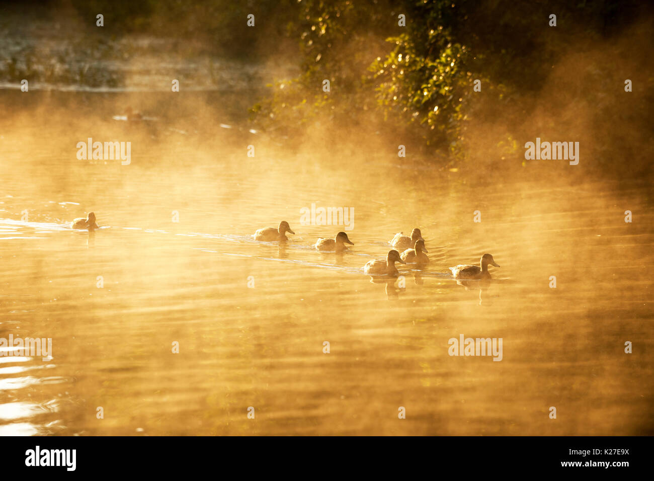 ducks swimming in a river - Stock Image