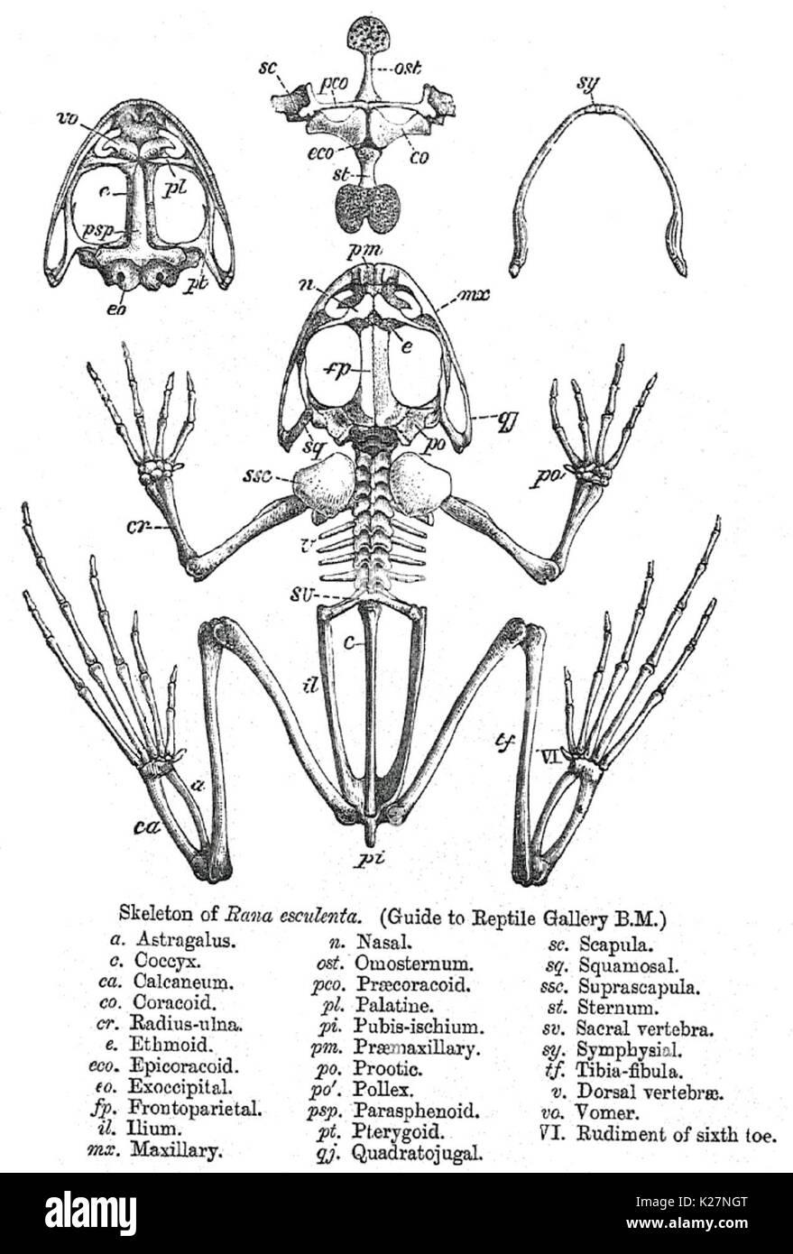 Skeleton of Pelophylax esculentus showing bones of the head, vertebral column, ribs, pectoral and pelvic girdles, and limbs 1890 - Stock Image