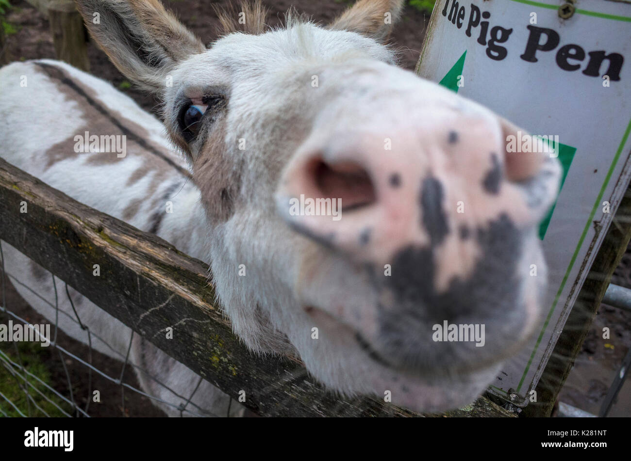 Close up of a nosey miniature donkey at Lancaster Park and Animal Farm, Chadderton, near Oldham, Greater Manchester, Stock Photo