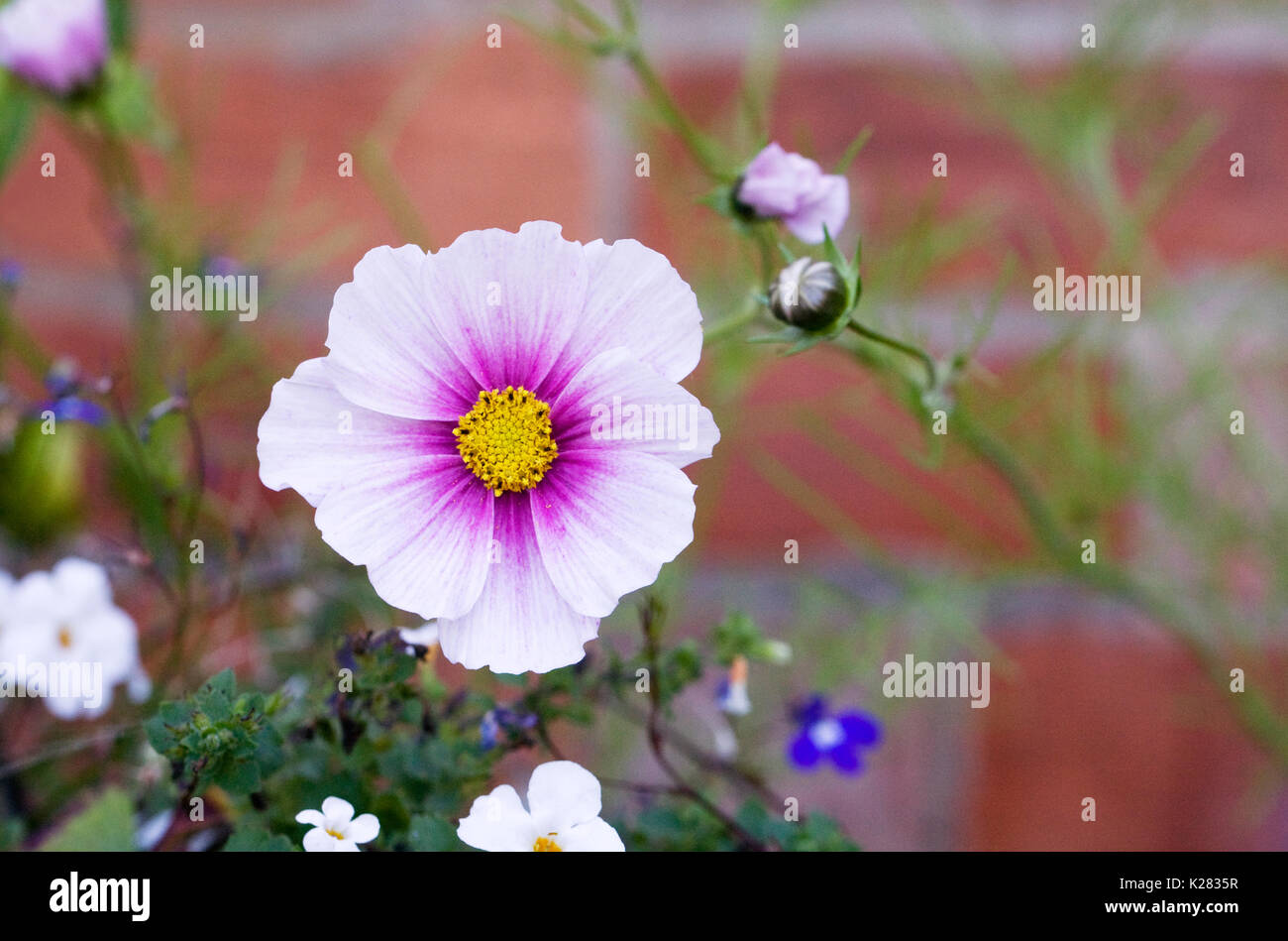 Cosmos bipinnatus 'Daydream' flowers against a red brick wall. - Stock Image