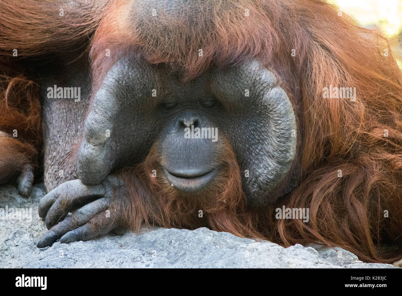 Orangutan waiting for people to take pictures in the zoo in Thailand, sometimes it looked sad - Stock Image