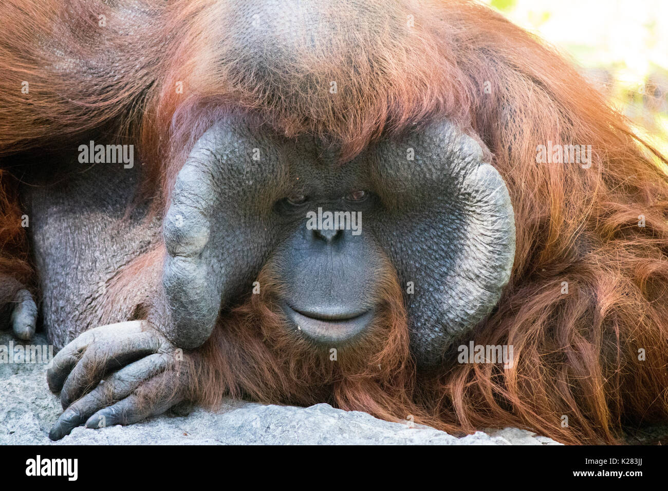 Orangutan waiting for people to take pictures in the zoo in Thailand, sometimes it looked sad Stock Photo