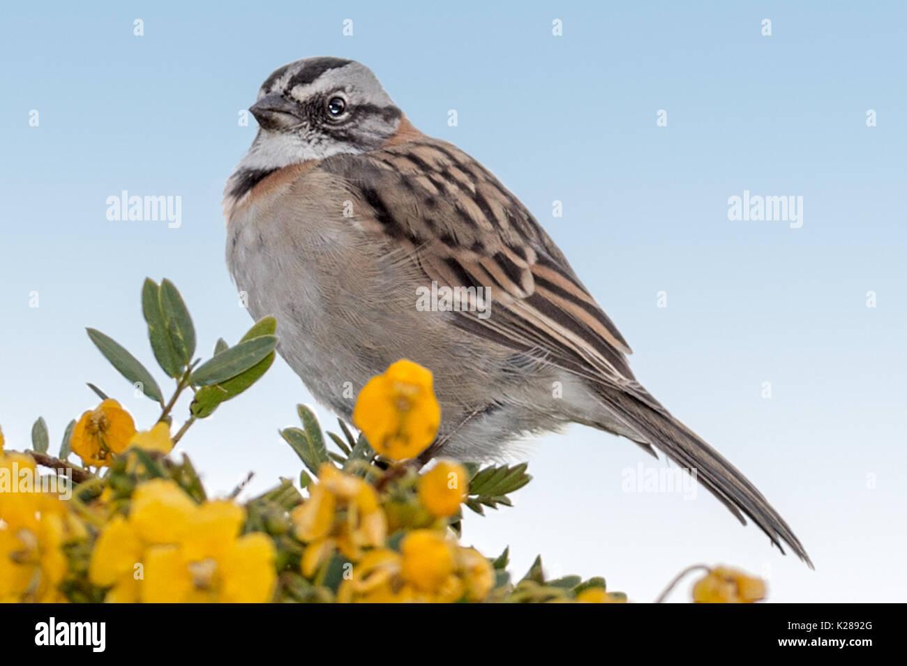 Rufous-collared Sparrow (Zonotrichia capensis) Lake Titicaca Peru Stock Photo