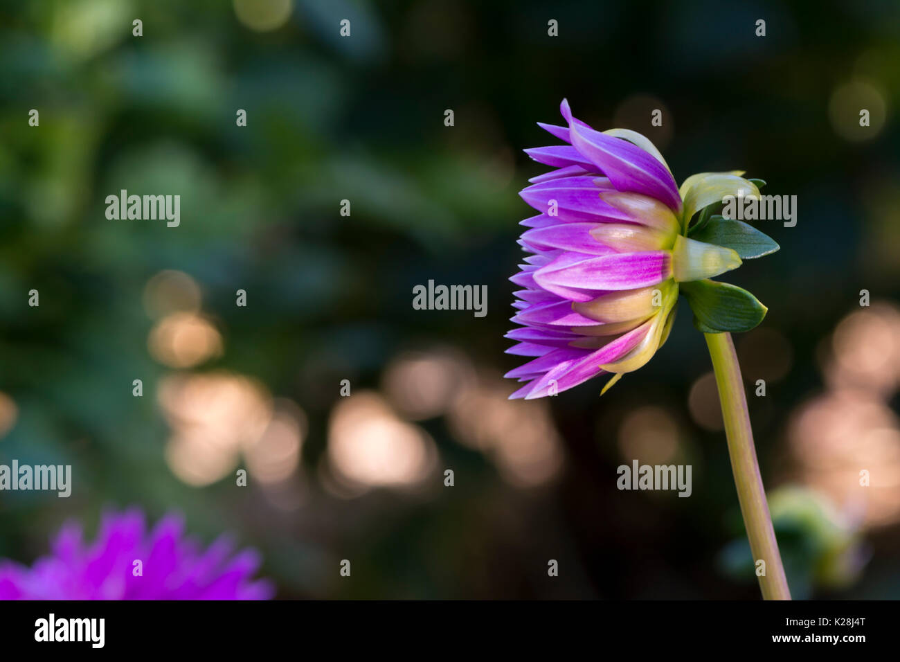 Side view of a small newly formed blooming purple Aitara Perplex Dahlia growing in it's natural environment in the garden. - Stock Image