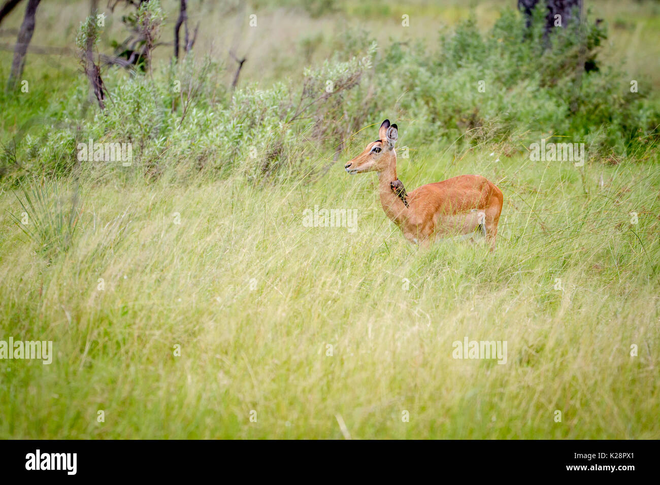 Female Impala standing in the grass in the Okavango Delta, Botswana. - Stock Image
