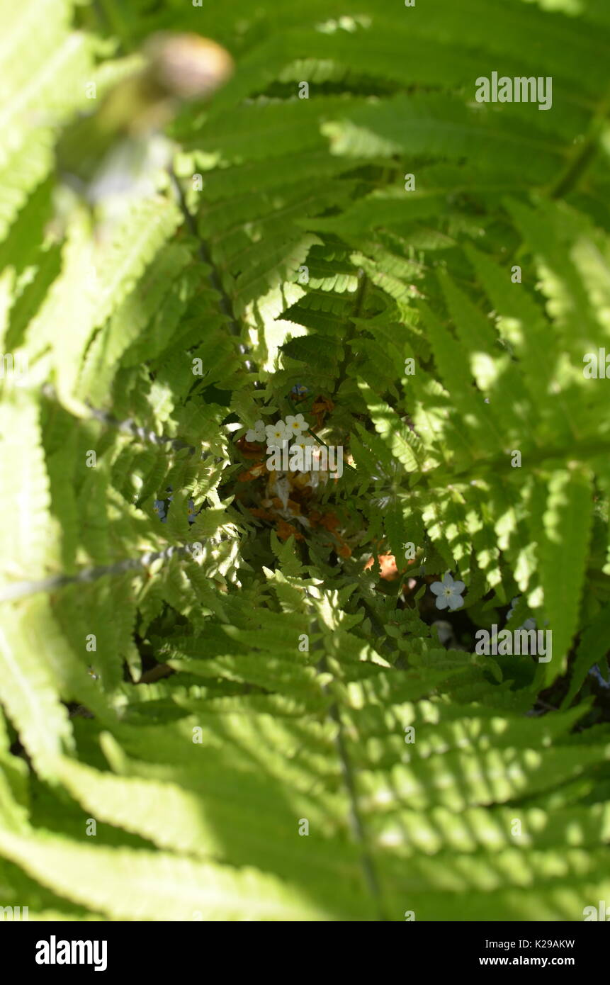 Fern blooms - Stock Image
