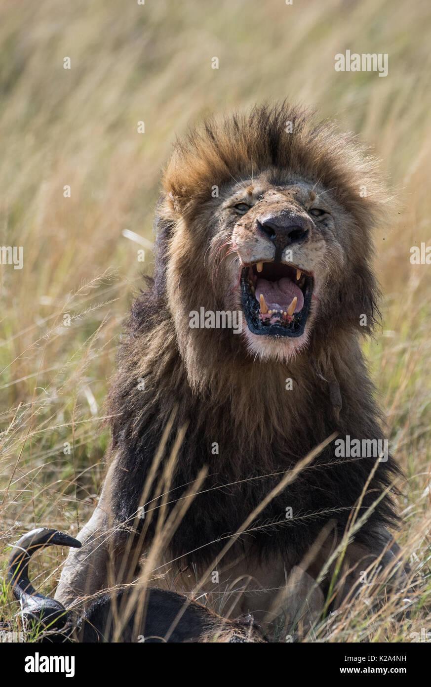 Nairobi, Kenya. 29th Aug, 2017. A lion roars after hunting at the Maasai Mara National Reserve, Kenya, Aug. 29, 2017. Credit: Chen Cheng/Xinhua/Alamy Live News - Stock Image