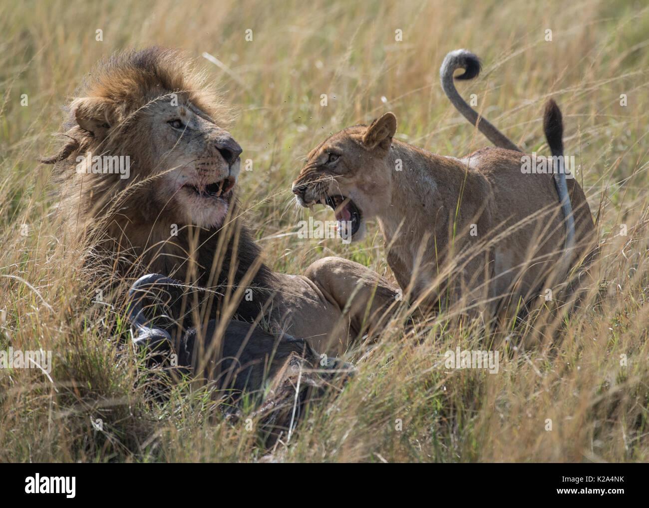 Nairobi, Kenya. 29th Aug, 2017. A lioness roars at a lion at the Maasai Mara National Reserve, Kenya, Aug. 29, 2017. Credit: Chen Cheng/Xinhua/Alamy Live News - Stock Image