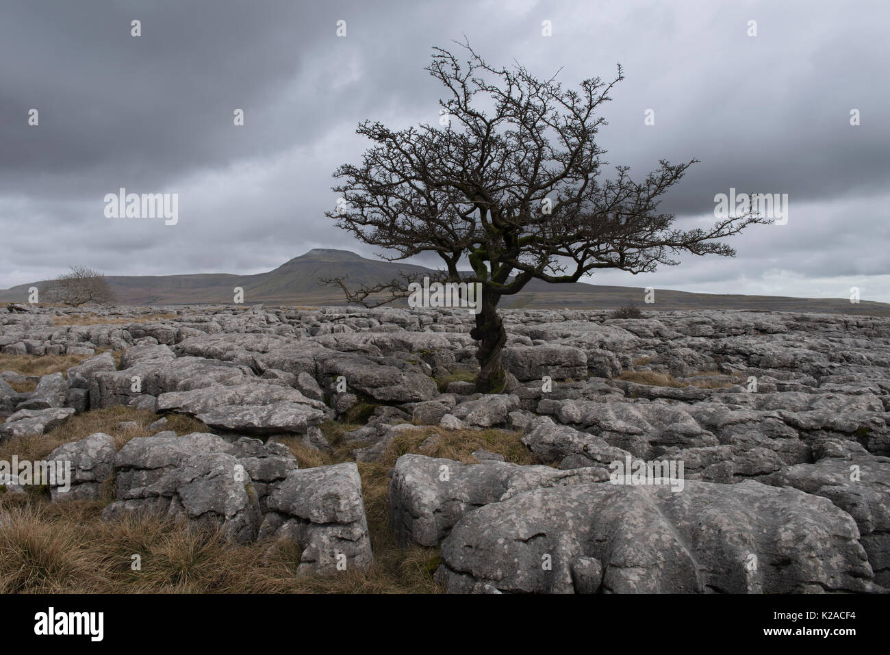 Grey winter day view of one lonely hawthorn tree on Twistleton Scar  limestone pavement, peak of Ingleborough beyond - Yorkshire Dales, England, UK. - Stock Image