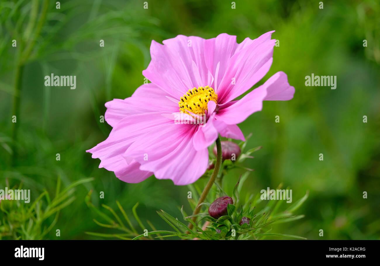 Vivid Pink Flower Yellow Centre Stock Photos Vivid Pink Flower