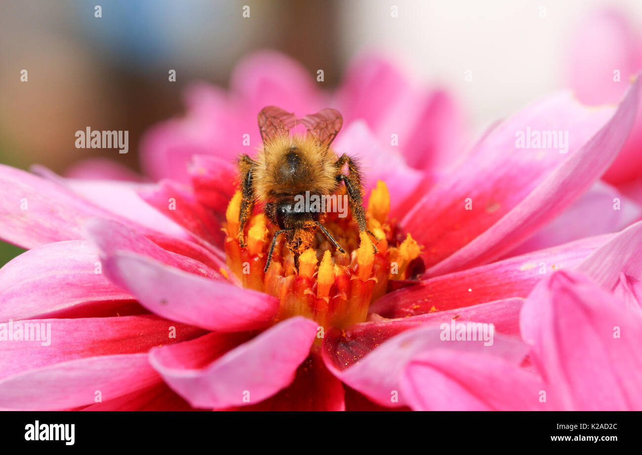A Bee (Bombus) nectaring on a Dahlia flower. - Stock Image