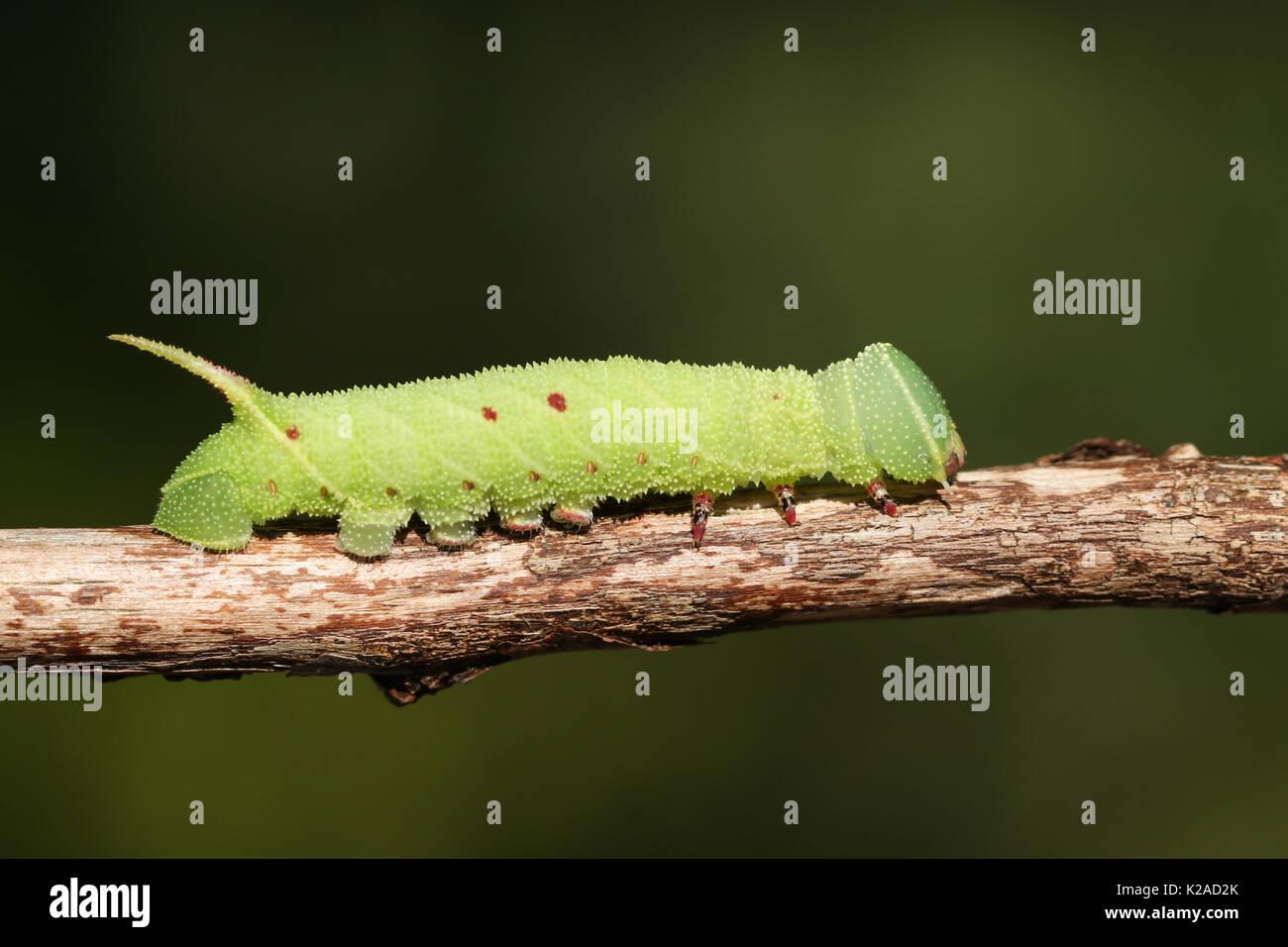 A Poplar Hawk-moth Caterpillar (Laothoe populi). - Stock Image