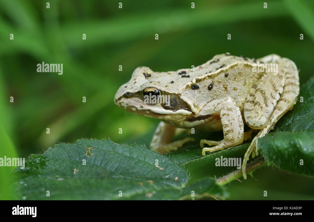 A small Common Frog or European Common Frog (Rana temporaria) sitting on a leaf. - Stock Image