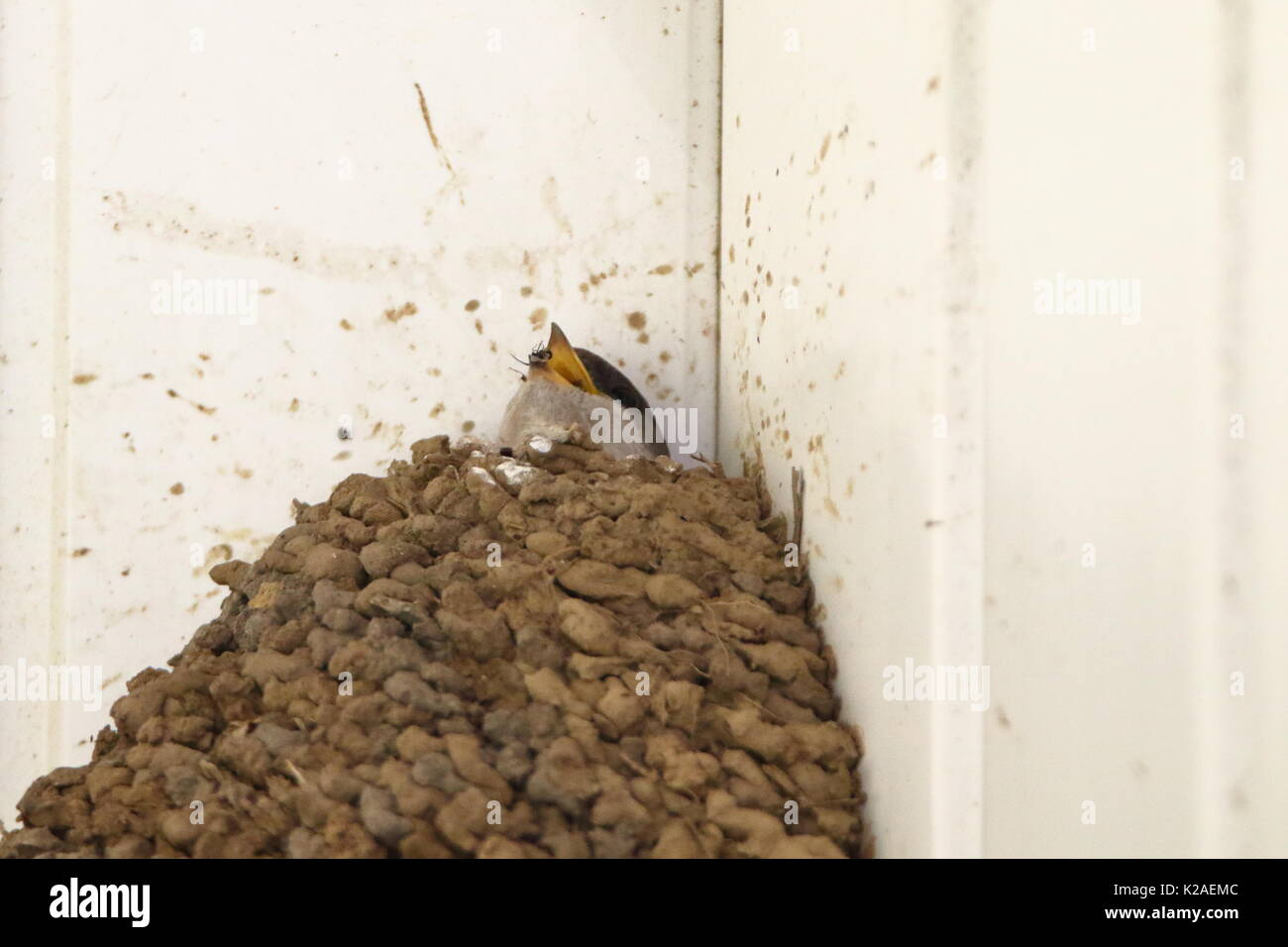 Young House Martin, Delichon urbica,  in nest having just been fed; UK - Stock Image