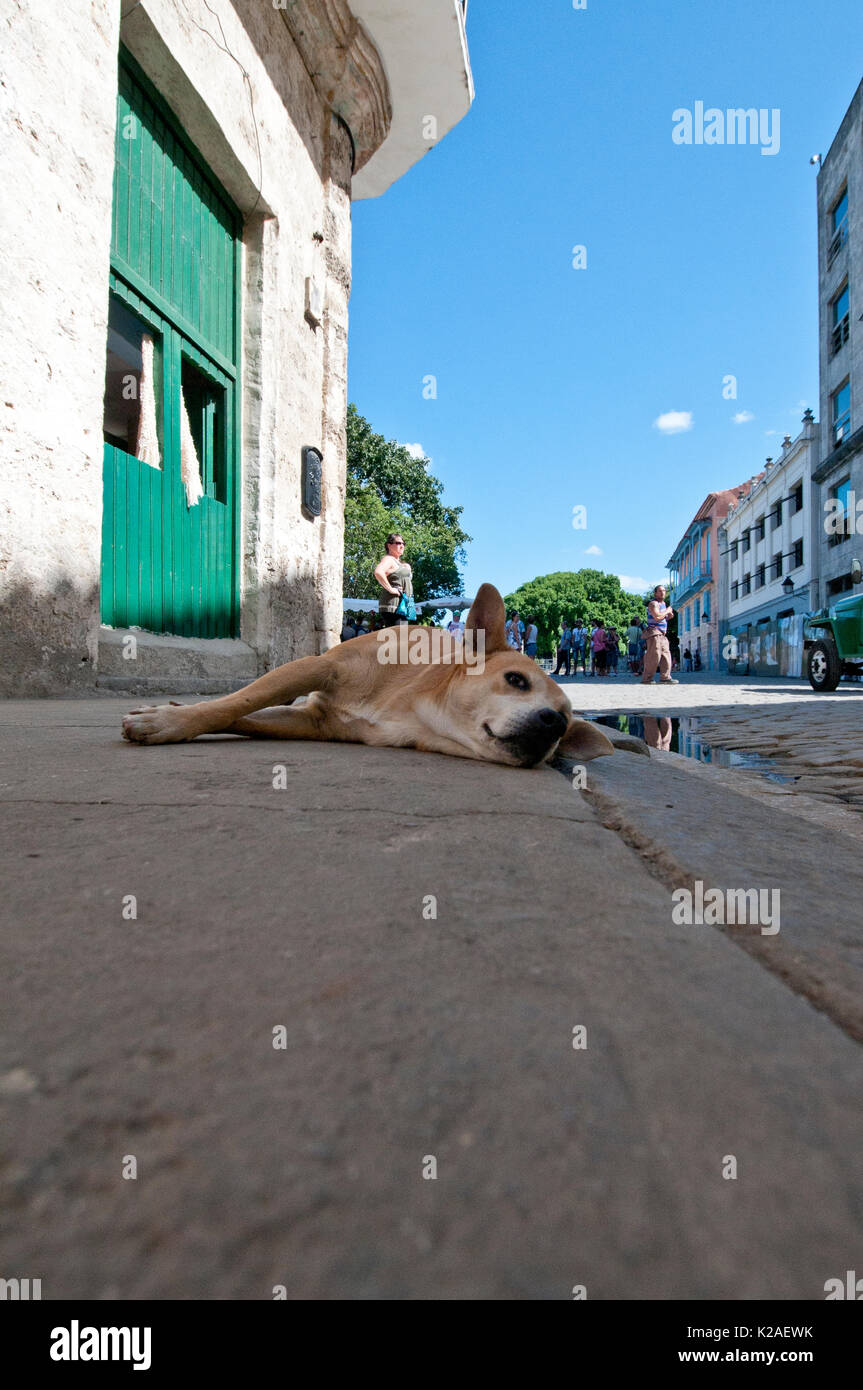 Stray dog lying on sidewalk in Havana Cuba Stock Photo