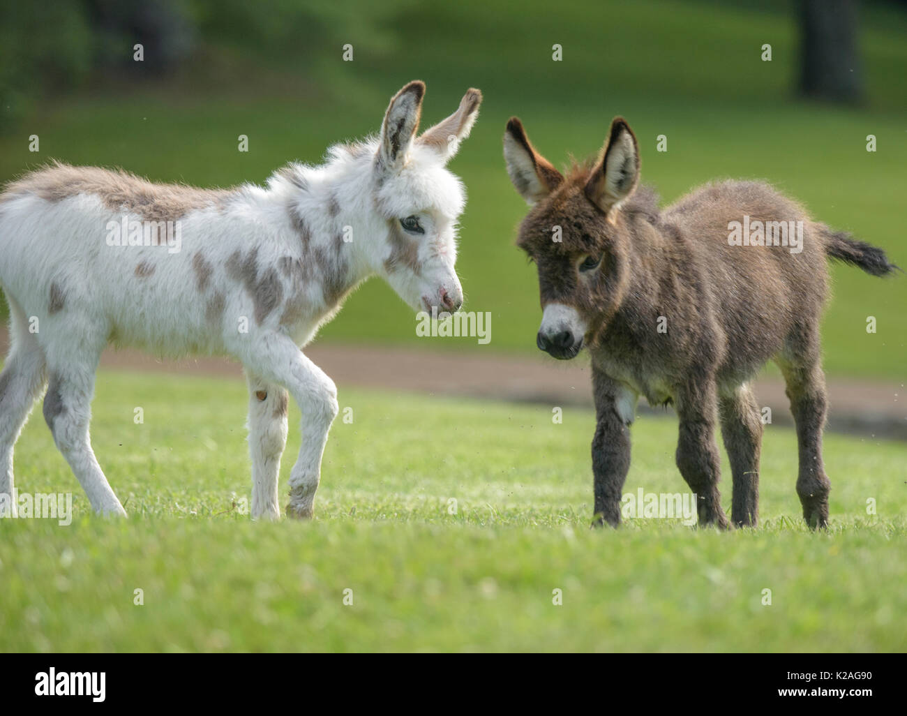 Two Miniature donkey foals on lush green lawn - Stock Image
