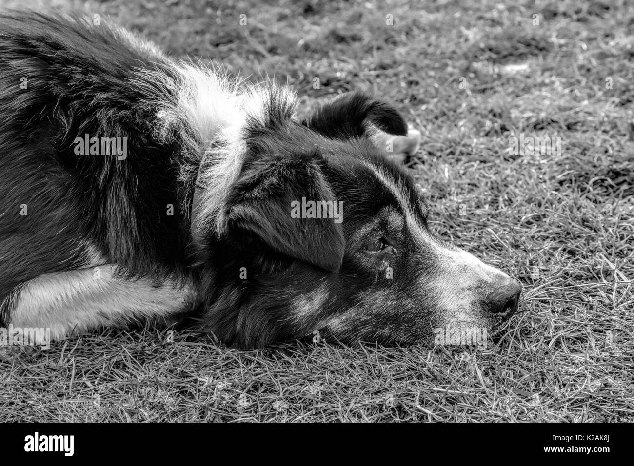A Border Collie ( Canis lupus familiaris ) awaiting commands during a sheepdog demonstration on Leault Farm, Kincraig, Scotland, United Kingdom. - Stock Image
